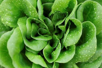 green vegetable lettuce