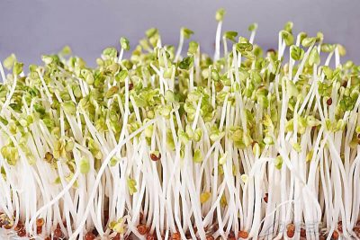 bean sprouts growing in bean sprout machine
